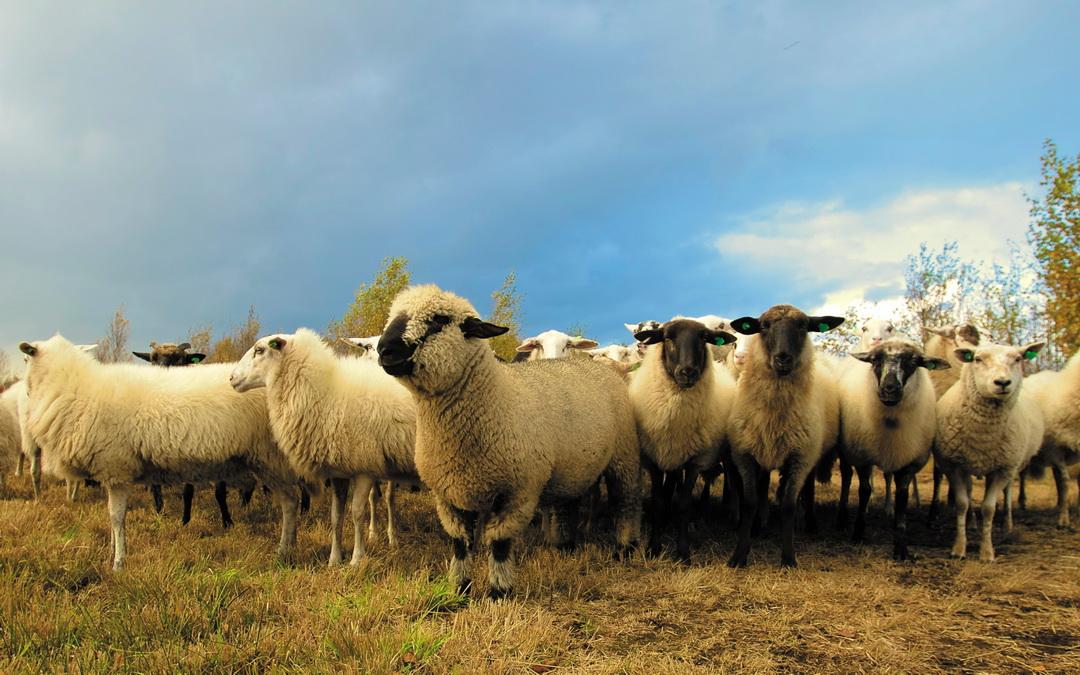 Bekämpfung der Brucella ovis Infektionen in den Tiroler Schafbeständen; Weide- und Versteigerungsbestimmungen 2019 – Kundmachung