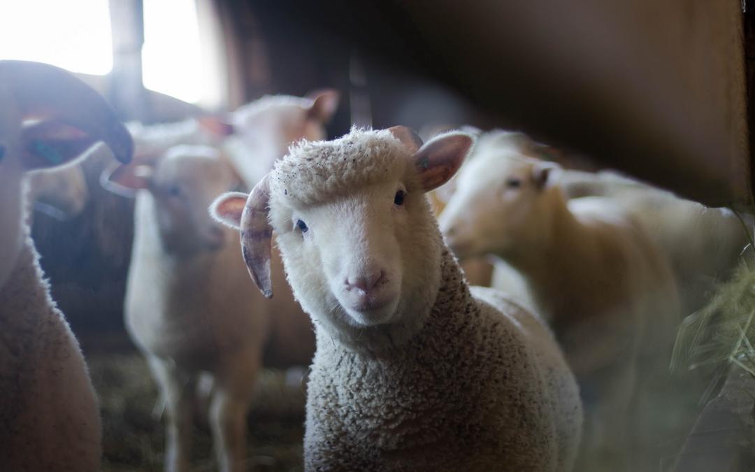 Bekämpfung der Schaf- und Ziegenräude im Bezirk Lienz 2019 – Kundmachung